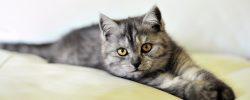 Britská kočka: společník do nepohody