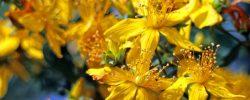 Třezalka tečkovaná – bylina se zázračnými účinky