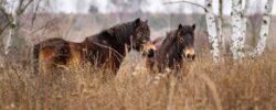 Návrat zubrů, praturů a divokých koní do rezervace Milovice slaví úspěchy